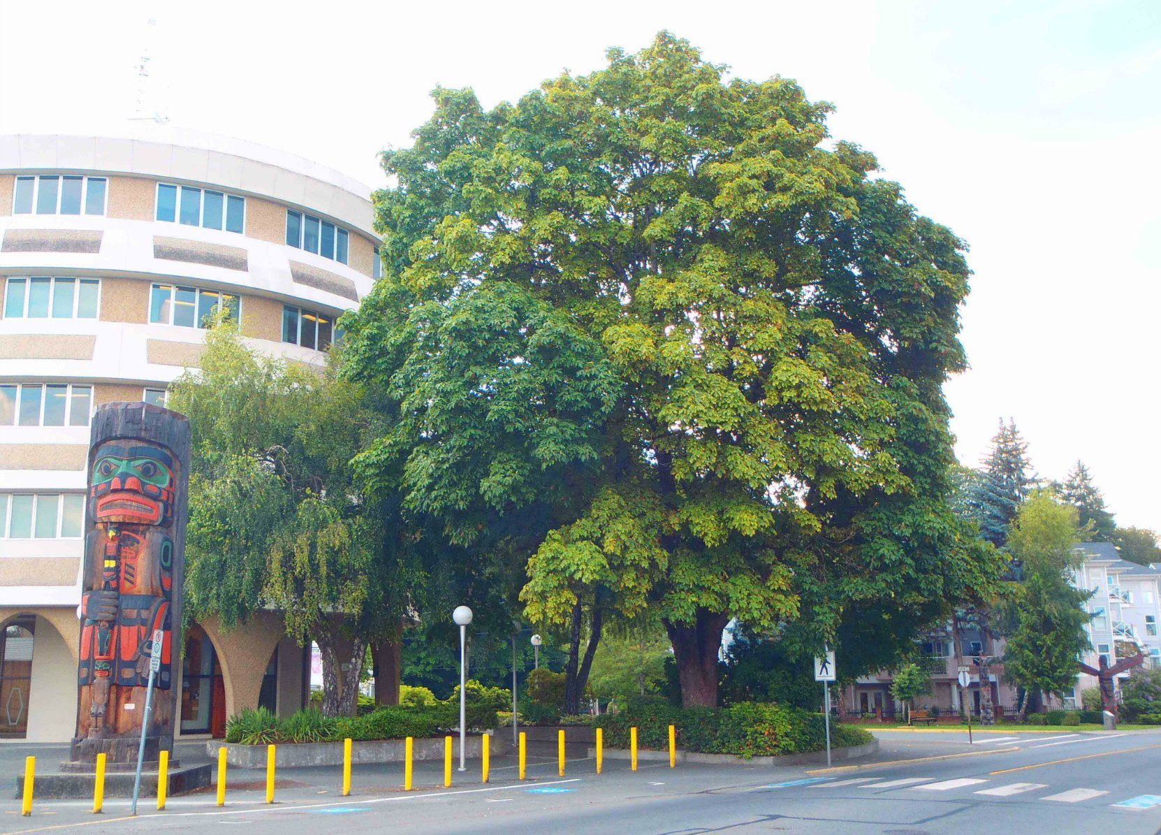 Confederation Tree, Government Street, Duncan, B.C. Planted 1 July 1927 by David Alexander