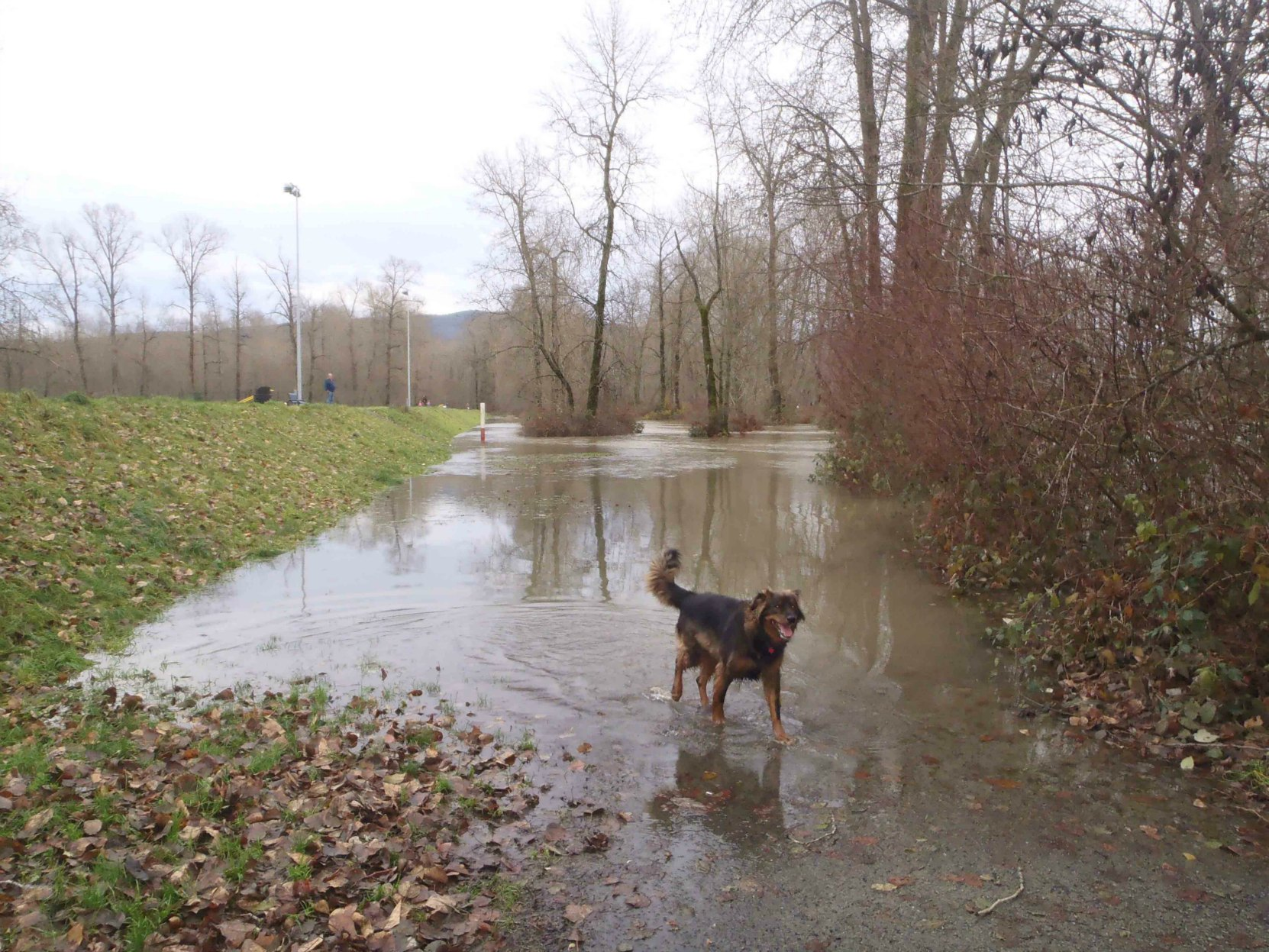 Cowichan River flooding up to the Macadam Park Dike. This dike project was undertaken under Mayor Douglas W. Barker